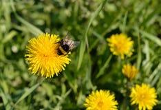 Hummel auf einem Blumenlöwenzahn Stockbild