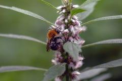 Hummel auf einer Blume lizenzfreies stockbild