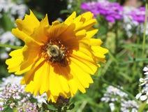 Hummel auf einer Blume Lizenzfreie Stockfotografie