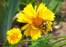 Hummel auf einer Blume Lizenzfreie Stockbilder