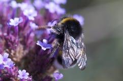 Hummel auf einer Blume lizenzfreie stockfotos