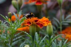 Hummel auf einer Blume Stockfotografie