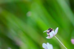 Hummel auf einer Blume Stockbild