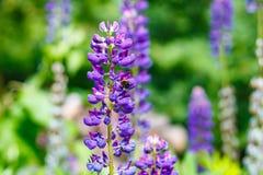 Hummel auf einer Blume in einem Garten Stockfoto