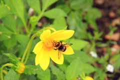 Hummel auf einer gelben Blume Stockbilder