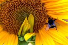Hummel auf einer gelben Sonnenblume lizenzfreie stockbilder