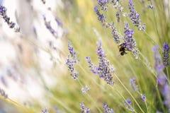 Hummel auf einer horizontalen Nahaufnahmelandschaft der Lavendelblume Lizenzfreie Stockfotos