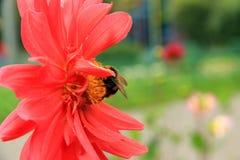 Hummel auf einer roten Blume Stockfotografie