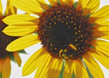 Hummel auf einer Sonnenblume stockbilder