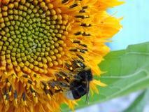 Hummel auf einer Sonnenblume lizenzfreie stockfotografie