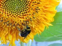 Hummel auf einer Sonnenblume 2 stockfoto