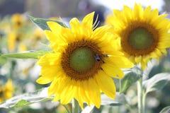 Hummel auf einer Sonnenblume - 3 Stockbild