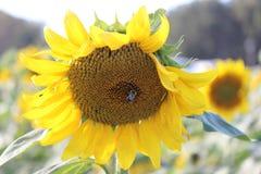 Hummel auf einer Sonnenblume - 4 Lizenzfreies Stockfoto