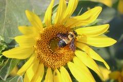 Hummel auf einer Sonnenblume - 2 lizenzfreies stockbild