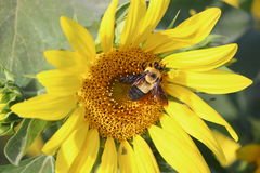 Hummel auf einer Sonnenblume Stockbild