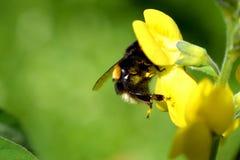 Hummel auf gelber Blume Stockfotografie
