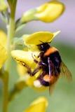 Hummel auf gelber Blume Stockbilder