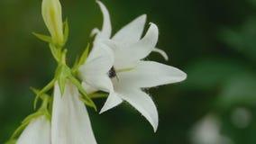 Hummel auf Glockenblumeblume stock footage