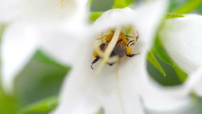 Hummel auf Glockenblumeblume stock video