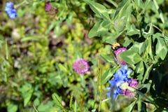Hummel auf Klee-Blume Stockbild