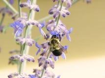 Hummel auf Lavendel Stockbild