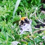 Hummel auf Lavendel Lizenzfreies Stockfoto