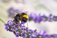 Hummel auf Lavendel stockfoto