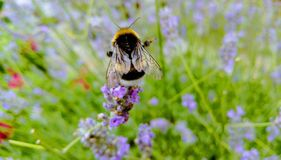 Hummel auf Lavendel Stockfotografie