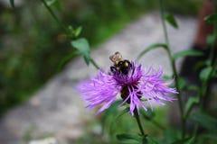 Hummel auf purpurroter Blume Stockfoto