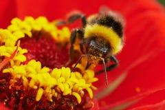 Hummel auf roter Blume Stockbild