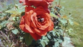Hummel auf roter Rose stock video