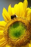 Hummel auf Sonnenblume Stockbilder