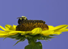 Hummel auf Sonnenblume Stockfotos
