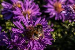 Hummel auf violetten Blumen Stockfoto