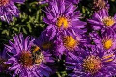 Hummel auf violetten Blumen Lizenzfreie Stockfotografie
