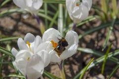 Hummel auf weißem Krokus im Frühjahr Lizenzfreie Stockfotografie