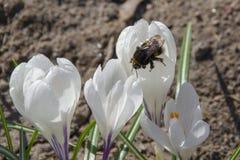 Hummel auf weißem Krokus im Frühjahr stockbild