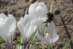 Hummel auf weißem Krokus im Frühjahr lizenzfreie stockbilder