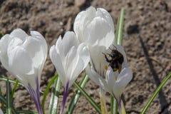 Hummel auf weißem Krokus im Frühjahr Stockbilder