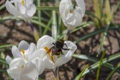 Hummel auf weißem Krokus im Frühjahr lizenzfreies stockbild