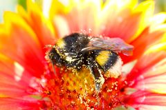 Hummel bedeckt im Blütenstaub lizenzfreie stockfotos