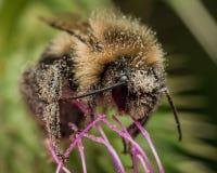 Hummel bedeckt im Blütenstaub auf purpurroter Distel lizenzfreie stockfotografie