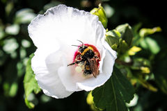 Hummel bedeckt mit dem Blütenstaub Lizenzfreie Stockbilder