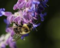 Hummel in den hellpurpurnen Blumen stockfotografie