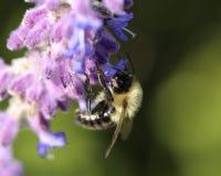 Hummel in den purpurroten Blumen stockbilder
