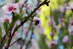 Hummel in der Kirschblüte Stockfotografie