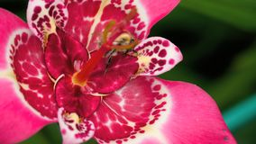 Hummel an der rosa Tigridia-Pavoniablume stock footage