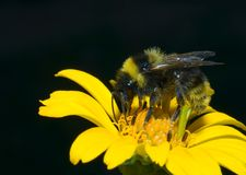 Hummel in der Sonnenblume Stockfoto