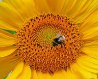 Hummel in der Sonnenblume Stockfotos