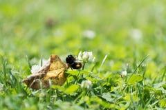 Hummel, die auf einer Blume klettert lizenzfreies stockfoto